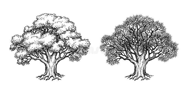 Croquis d'encre de chêne illustration stock