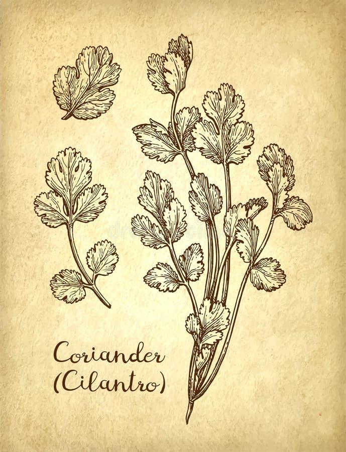 Croquis d'encre de cilantro illustration libre de droits