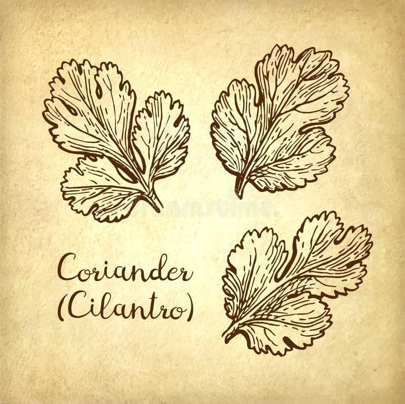 Croquis d'encre de cilantro illustration de vecteur