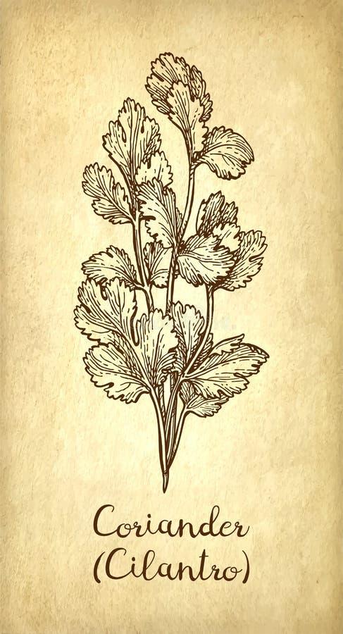 Croquis d'encre de cilantro illustration stock