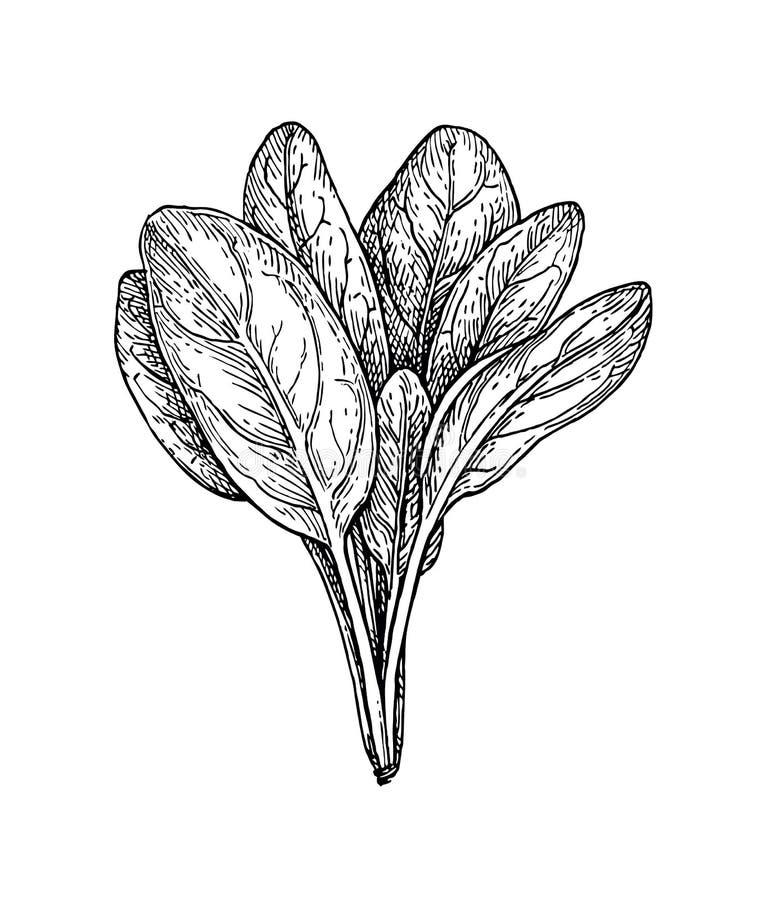 Croquis d'encre des épinards illustration stock