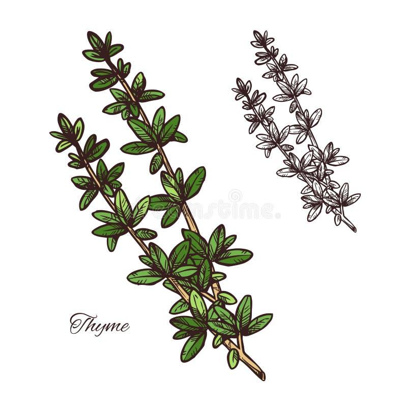 Croquis d'herbe d'épice de thym de branche verte avec la feuille illustration libre de droits