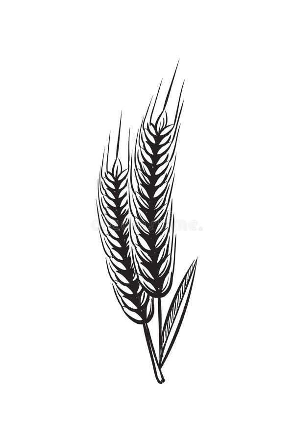 Croquis d'oreilles de bl? Oreille organique de grains de blés de cru pour le pain ou l'illustration de vecteur d'aspiration de ma illustration de vecteur