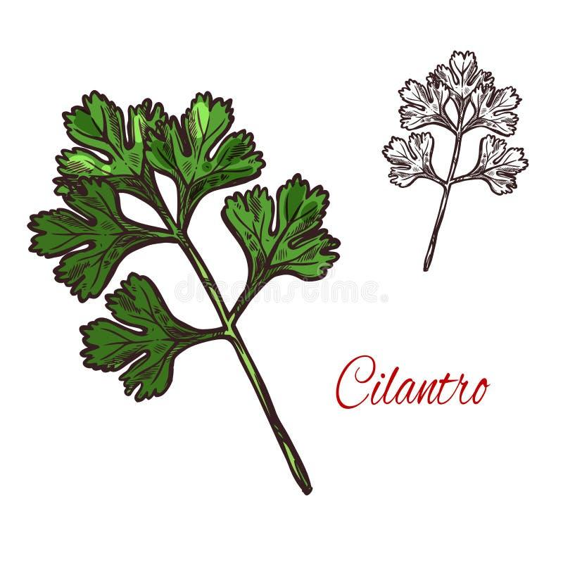 Croquis d'usine de coriandre ou de cilantro d'herbe d'épice illustration de vecteur
