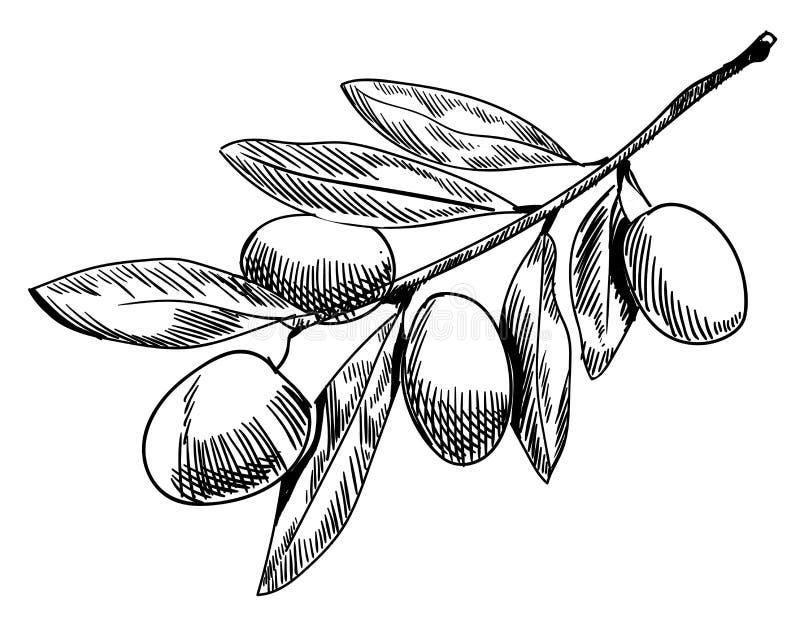 croquis de branche d 39 olivier branche d 39 olivier tir e par. Black Bedroom Furniture Sets. Home Design Ideas