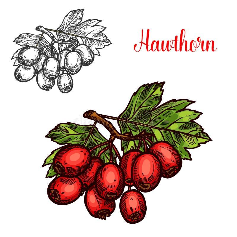 Croquis de branche de fruit d'aubépine avec la baie rouge mûre illustration libre de droits