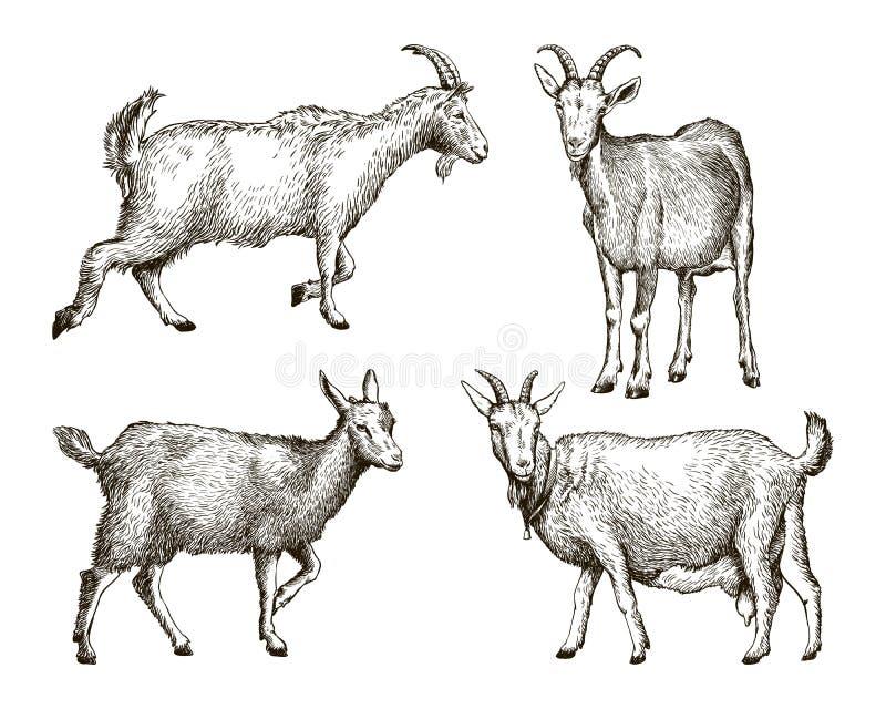 Croquis de chèvre dessiné à la main bétail pâturage animal illustration libre de droits