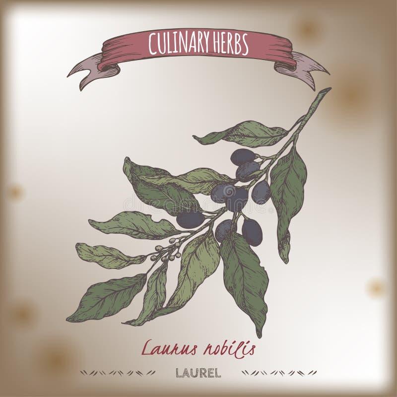 Croquis de couleur de vecteur de laurier de baie de nobilis de Laurus aka Collection culinaire d'herbes illustration stock