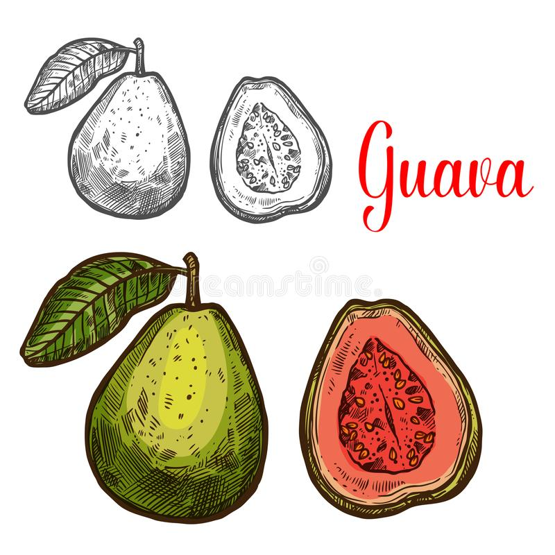 Croquis de fruit tropical de goyave de baie exotique fraîche illustration stock