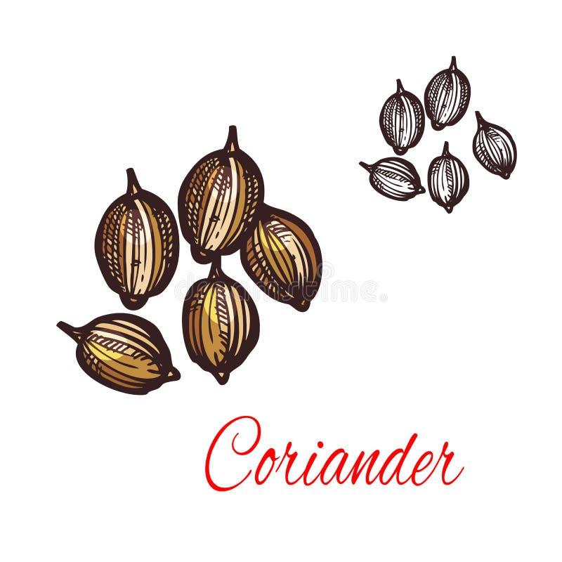 Croquis de graine de coriandre de conception d'épice de cilantro illustration libre de droits