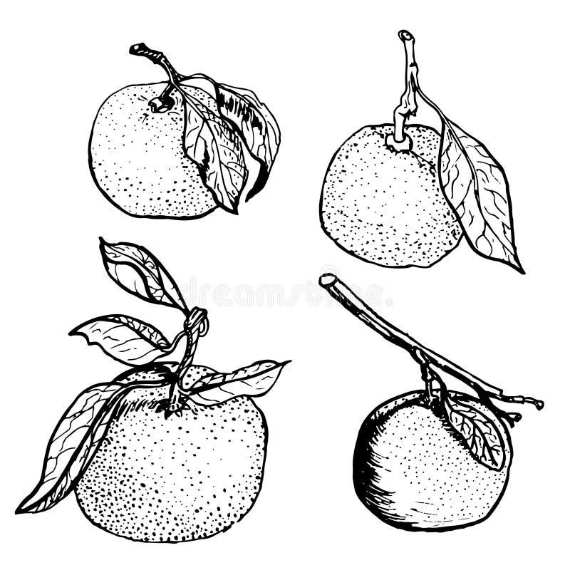 Croquis de mandarine illustration de vecteur
