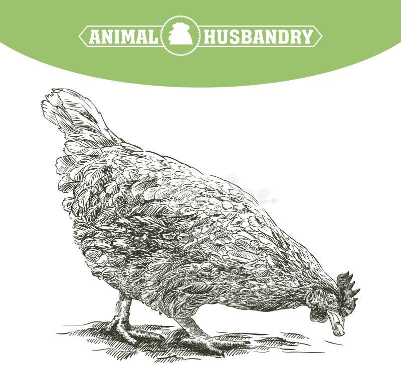 Croquis de poulet Élevage de volaille bétail illustration de vecteur