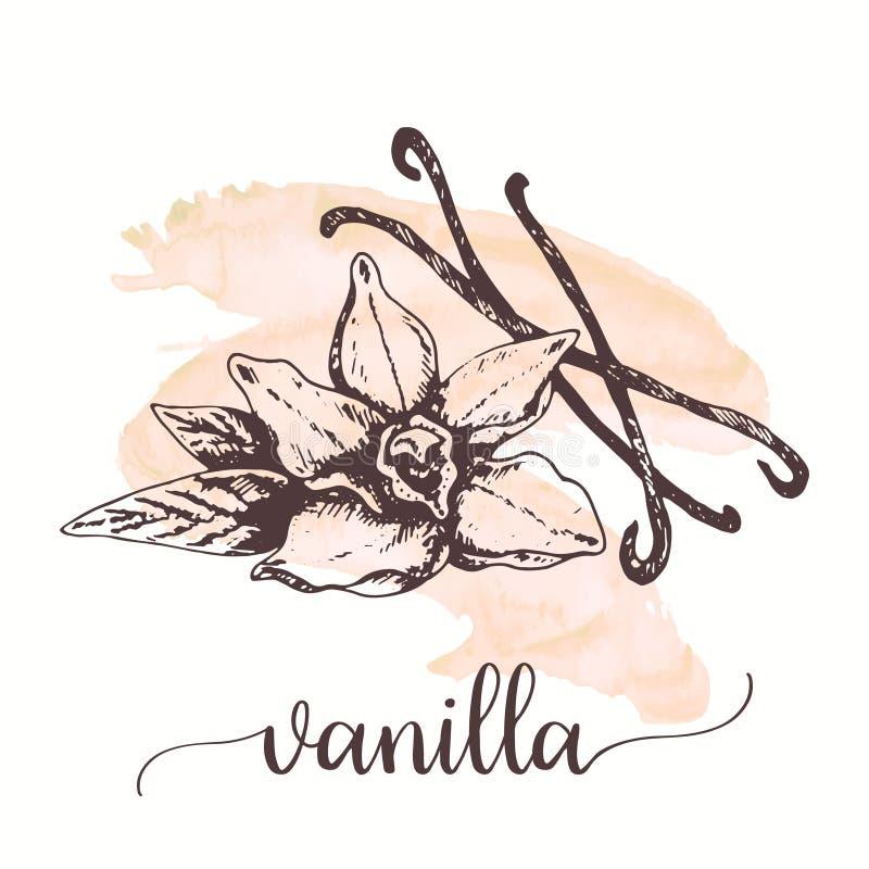 Croquis de vanille sur la peinture d'aquarelle Illustration tirée par la main d'encre de fleur et de bâton de vanille Conception  illustration libre de droits