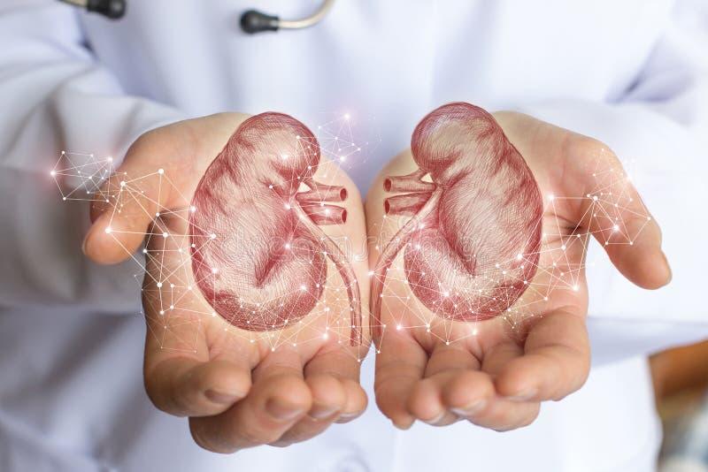 Croquis du rein humain dans les mains photo libre de droits