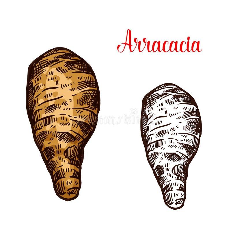 Croquis frais de légume à racine d'Arracacia illustration de vecteur
