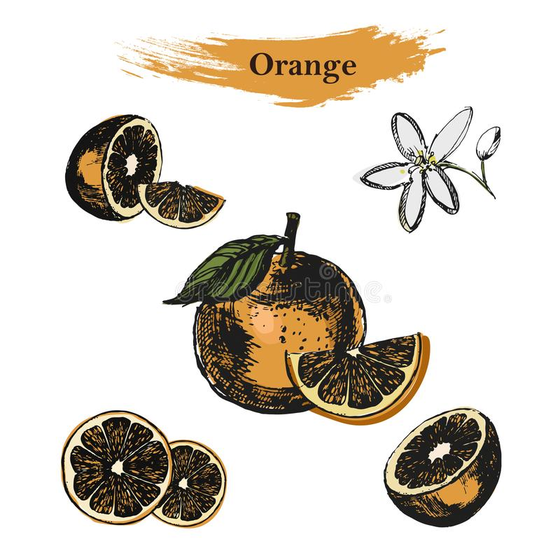 Croquis orange Vecteur tiré par la main d'encre de vintage des oranges, d'isolement sur le fond blanc illustration libre de droits