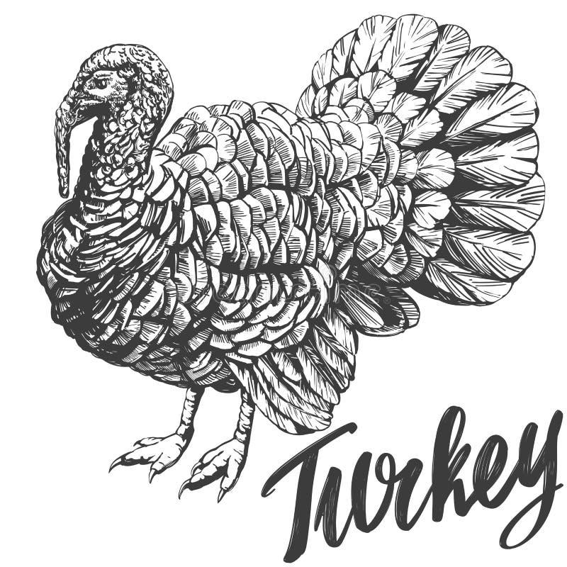 Croquis réaliste d'illustration tirée par la main de vecteur de volaille domestique de la Turquie illustration de vecteur