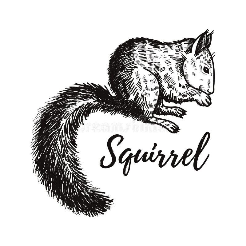 Croquis tiré par la main d'écureuil, animal réaliste d'isolement illustration libre de droits