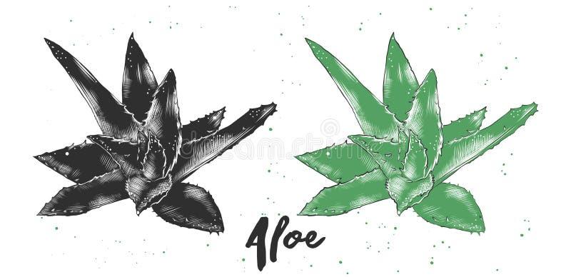 Croquis tiré par la main d'aloès Vera dans monochrome et coloré Dessin détaillé de style de gravure sur bois en vintage illustration libre de droits