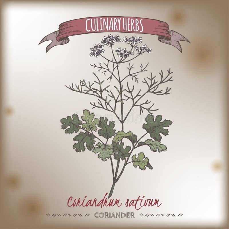 Croquis tiré par la main de couleur de cilantro de coriandre aka illustration libre de droits
