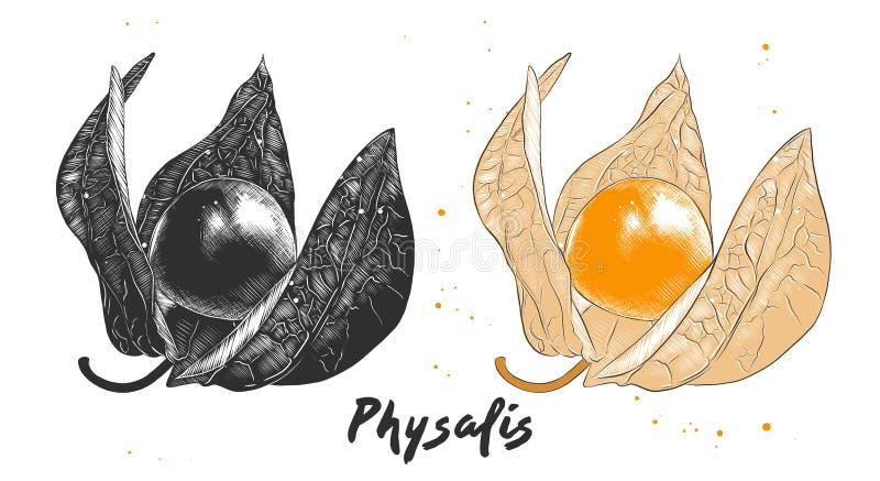 Croquis tiré par la main de fruit de physalis dans monochrome et coloré Dessin végétarien détaillé de nourriture illustration libre de droits