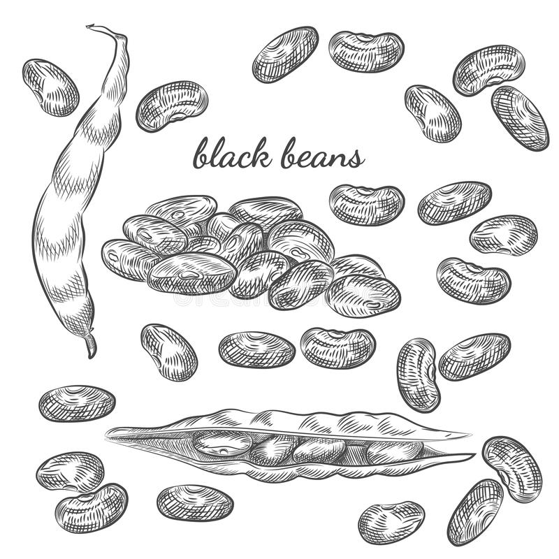 Croquis tiré par la main de haricots noirs sur le fond blanc illustration libre de droits