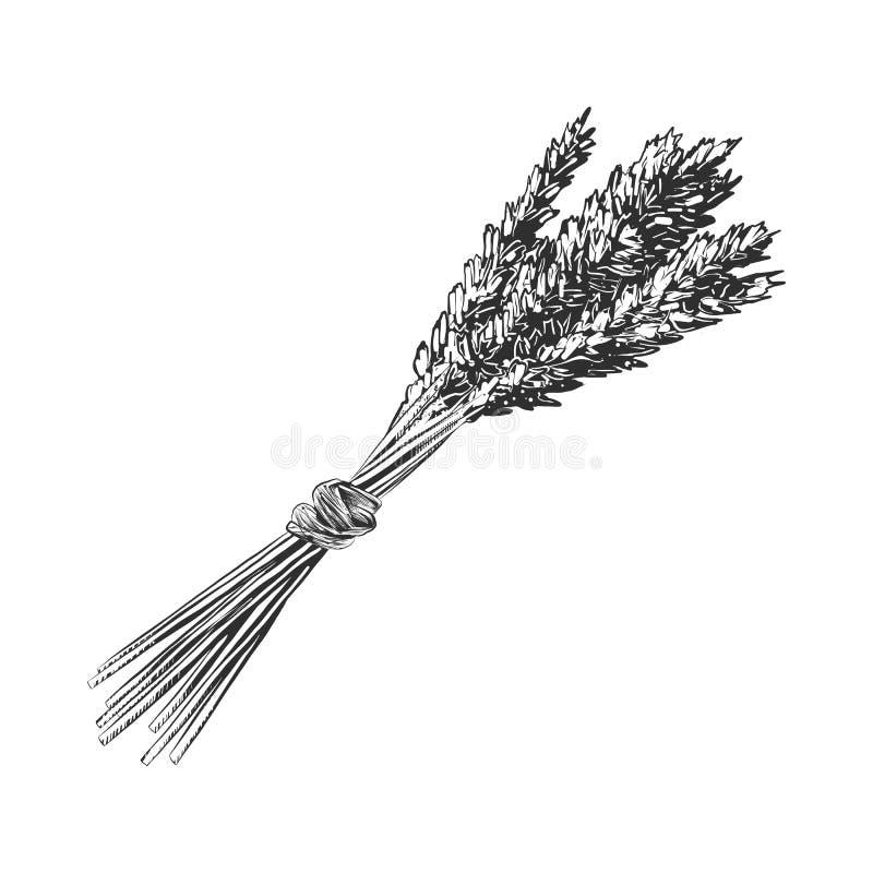 Croquis tiré par la main de l'oreille de blé, monochrome d'isolement sur le fond blanc Style détaillé de gravure sur bois en vint illustration libre de droits