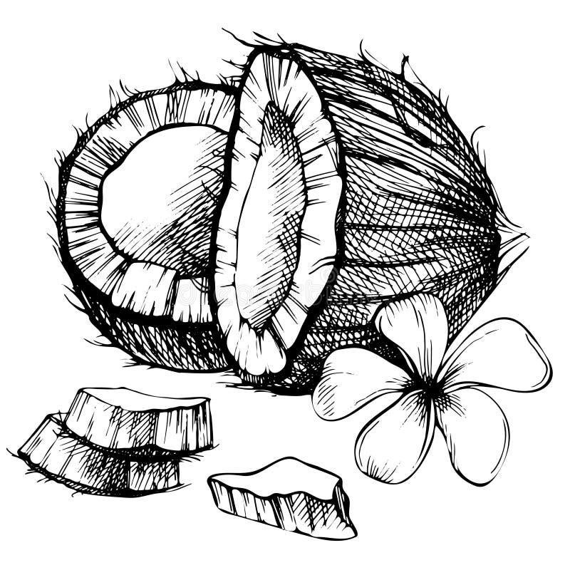 Croquis tir par la main de noix de coco illustration de - Dessin noix de coco ...