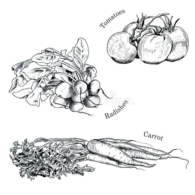 Croquis tirés par la main d'encre de légumes réglés illustration stock