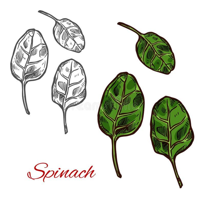 Croquis végétal d'épinards avec la feuille verte fraîche illustration stock