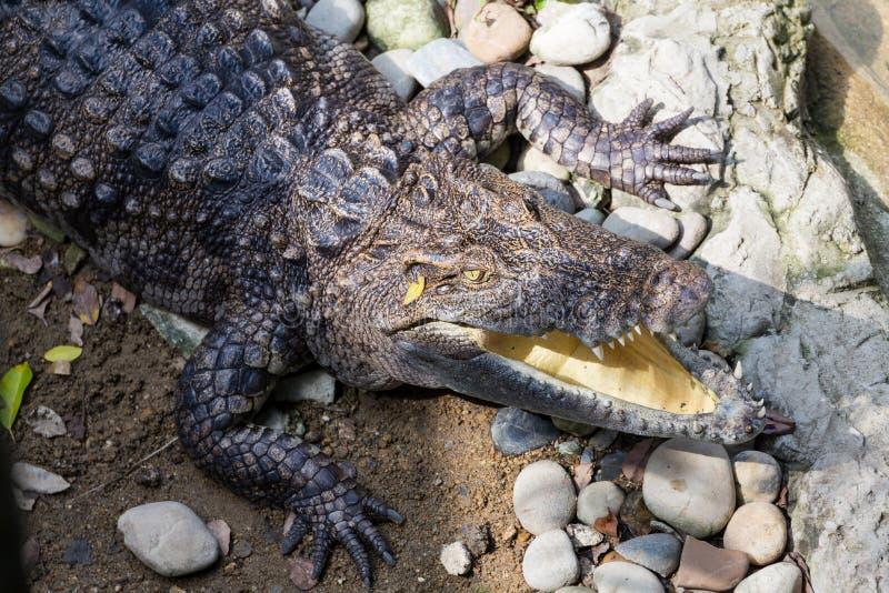 Crorodile dans un zoo photos libres de droits
