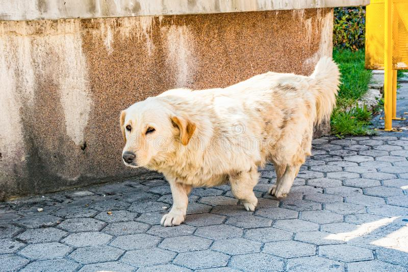 Crosbreed of retriever and dachshund in Bosnia and Herzegovina.  stock image