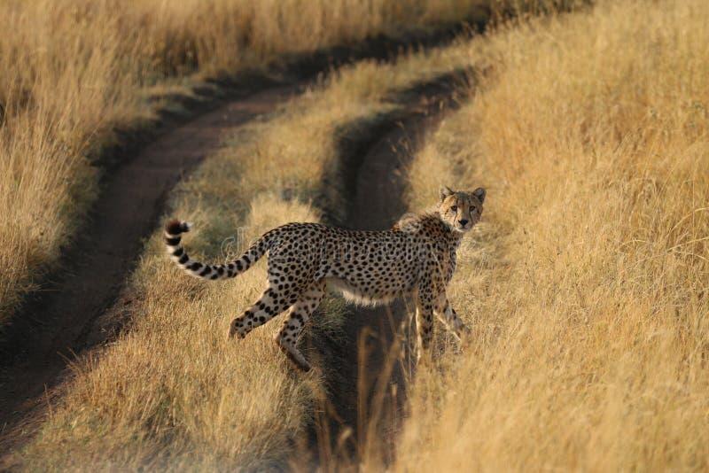 crosing路的猎豹在非洲 库存图片