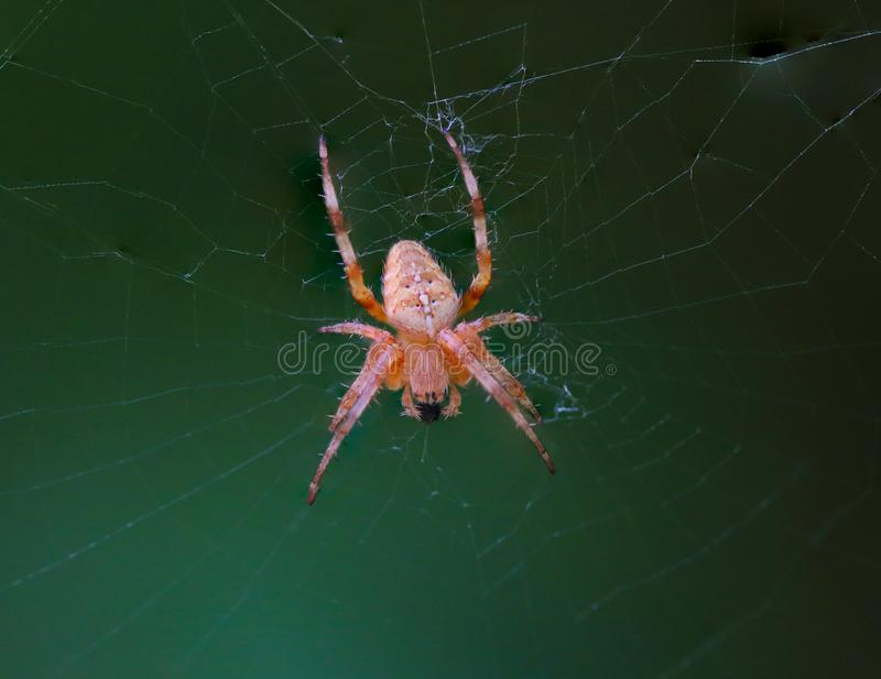 Cross Back Spider on Web stock images