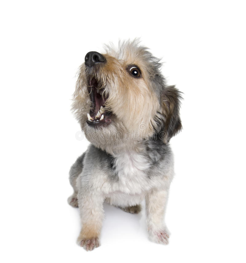Cross Breed dog in front of white background stock images