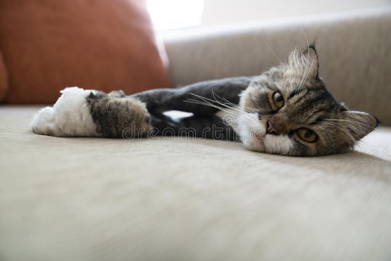 Cross breed maine coon persian cat on a sofa royalty free stock image