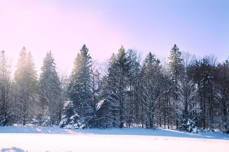Cross-country skiing trails. Winter forest covered with snow. Na royalty free stock photo