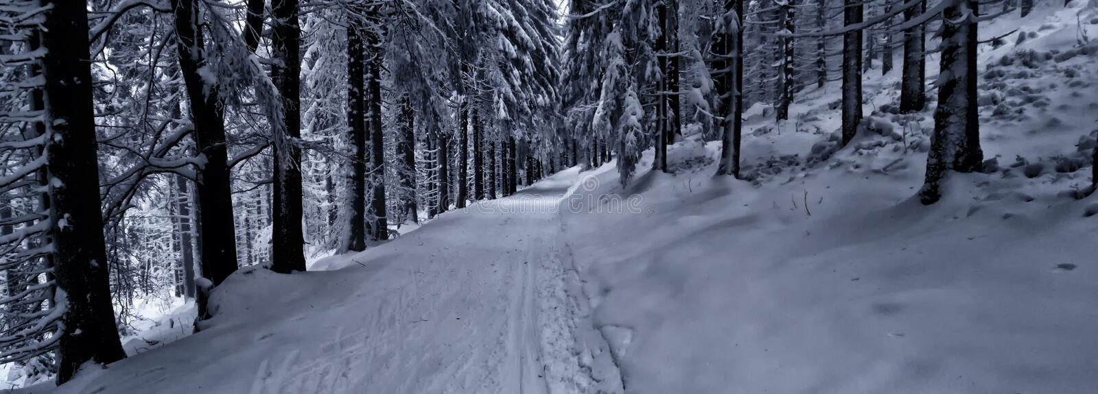 Cross country track in the forest at winter daylight royalty free stock photo