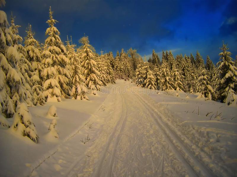 Cross country track in the spruce trees forest at winter evening stock images