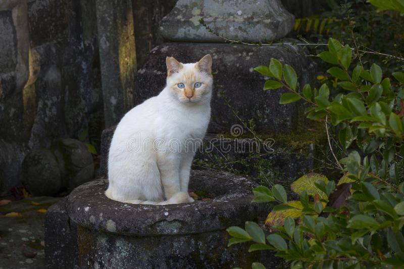 Alley cat sitting near the temple. Cross eyed alley cat sitting near the temple in Kunamoto, Japan stock photography