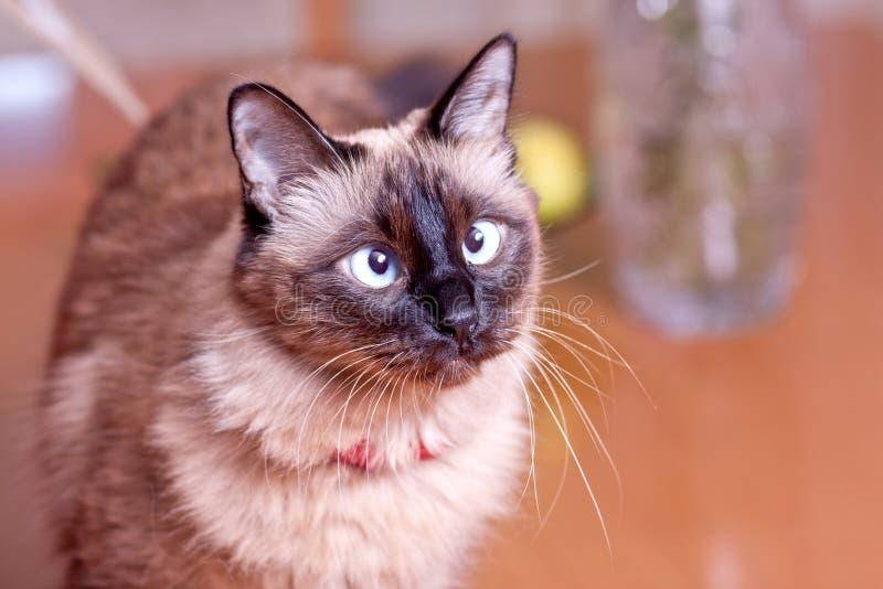Cross eyed Birmanese Cat royalty free stock images
