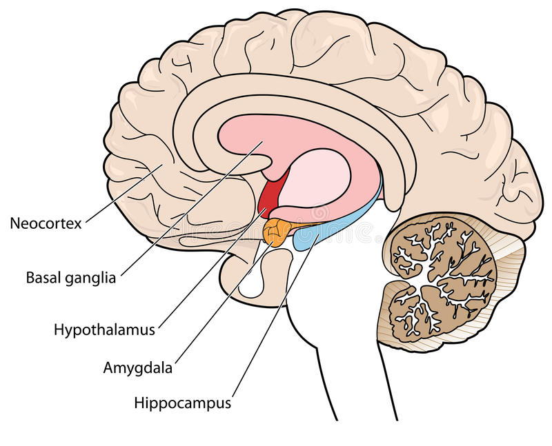 Cross section of brain showing the basal ganglia and hypothalamus. The brain in cross section showing the basal ganglia, hypothalamus, amygdala and hippocampus royalty free illustration