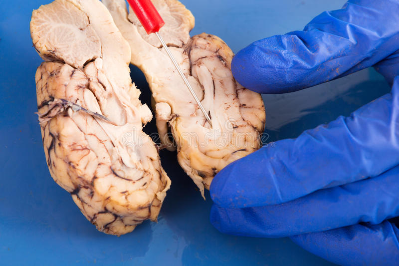 Cross-section of a cow brain royalty free stock photography