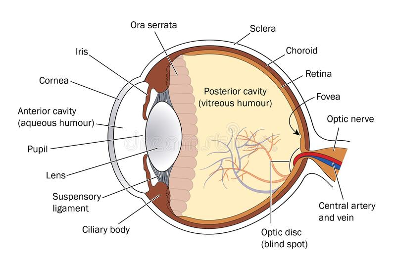 Cross section of the eye. Cross section through the eye, showing the lens, retina and optic nerve vector illustration