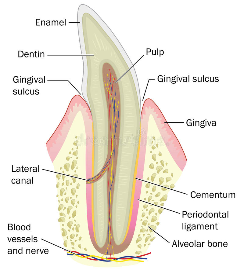 cross section incisor tooth showing bone gum dentin enamel plus nerve blood supply created adobe illustrator 61657947