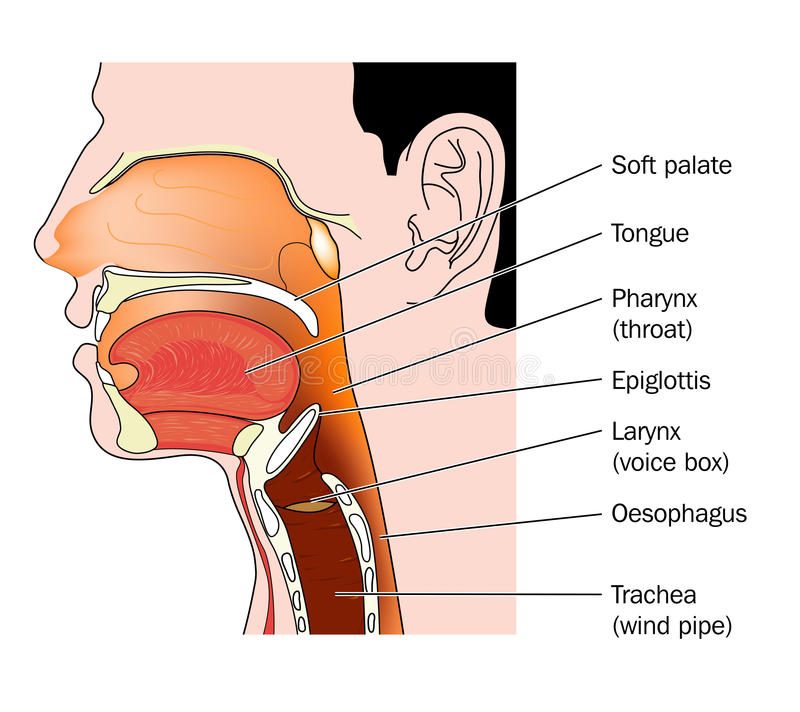 Cross section of nose and throat stock illustration