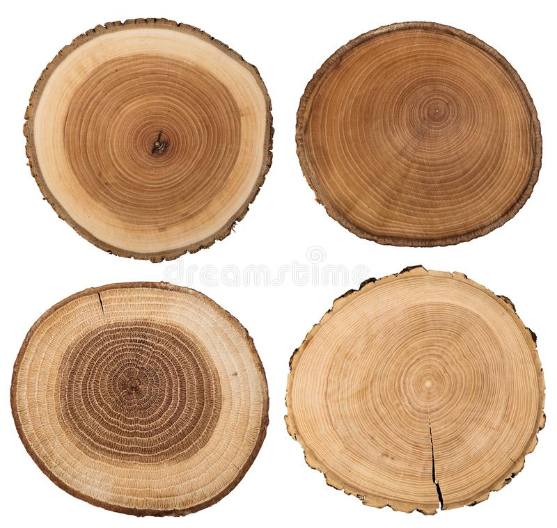 Free Cross Section Of Tree Trunk Isolated On White. Royalty Free Stock Photos - 109584488