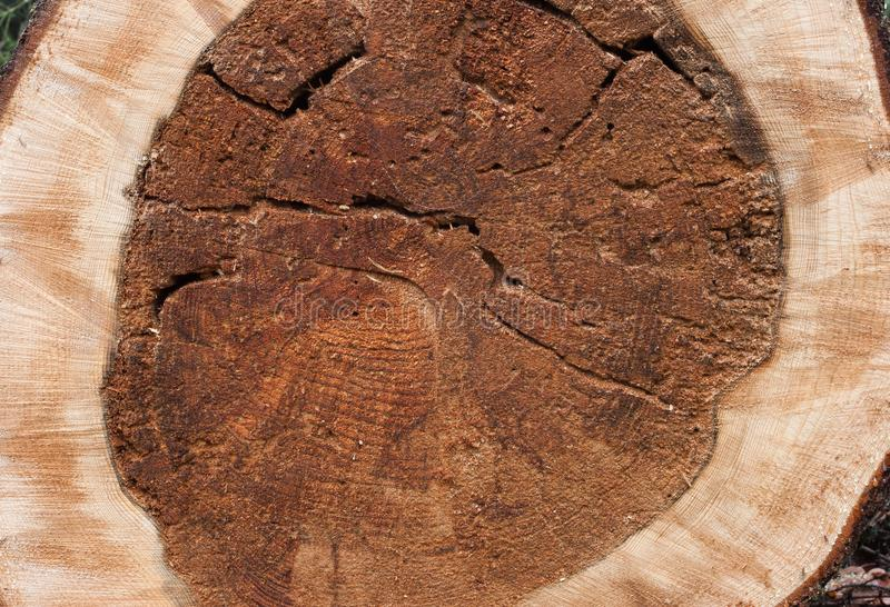 Cross section spruce wood texture royalty free stock image