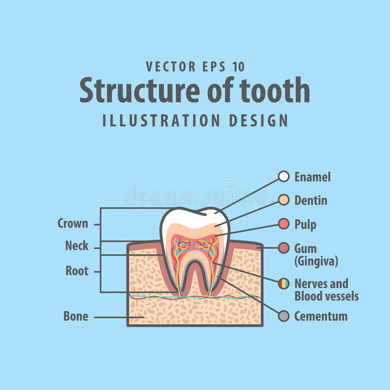 Cross Section Structure Inside Tooth Diagram And Chart Stock Vector