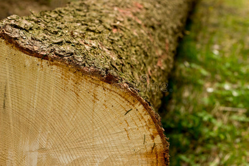 Cross section of tree royalty free stock photography